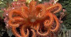 """Estrela-do-mar da ordem """"Brisingida"""", que tem entre seis e 16 longos braços, descansa sobre um coral de águas profundas, no oceano Atlântico..."""