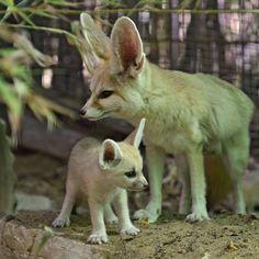 Mama & Baby Fox