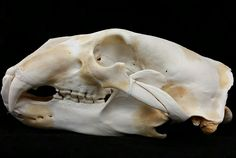 This is a real polar bear skull sustainably sourced from the Inuit peoples of the Canadian arctic! It is available in Canada but export is possible to some nations for an additional fee/permit times! Buy it now on www.SkullStore.ca or in-store at...