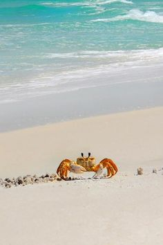 Crabs can live near the ocean's edge and in the sand. They play an important role in the beach ecosystem as the eat organisms and are food for others.