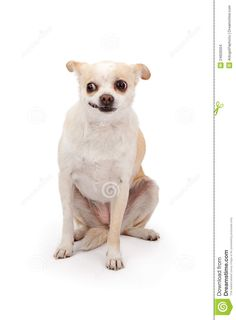 funny chihuahua - Google Search