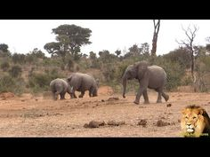 The baby elephant was not scared by mother and baby rhino but when he saw the hippo in the water hole he was very cautious and then father rhino appears on t. Baby Rhino, Baby Elephant, African Safari, Mother And Baby, The Dreamers, Traveling By Yourself, Drinking, Wildlife, That Look