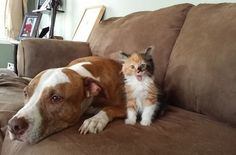 Kitten: AHAHA! I am a terrifying beast! Fear me! Pit bull: oh god. I have made so many poor life decisions.