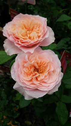 'Sen' | Hybrid Tea rose. Rose Farm Keiji, 2013