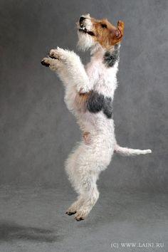 Fox Terrier - El fox terrier es una raza de perro utilizada antiguamente para hacer salir a los zorros de sus madrigueras para poder ser perseguidos por perros de rastreo. Actualmente este terrier es un animal de compañía.