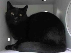 +++ SUPER #URGENT +++ #wlf #SHARE ~ TO BE DESTROYED 4/17/2015 #NYC #Brooklyn Center ~ PLS #ADOPT #FOSTER immediately! ~ My name is RC CAR. My Animal ID # is A1033021. I am a male black domestic sh mix. The shelter thinks I am about 2 YEARS old. I came in the shelter as a STRAY on 04/13/2015 from NY 11379, owner surrender reason stated was STRAY.