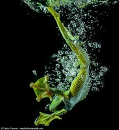 Tanto Yensen from Jakarta, Indonesia shows a wild Javan Gliding Tree frog in a tank of water