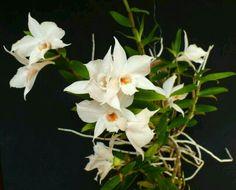 Orquídeas brancas!