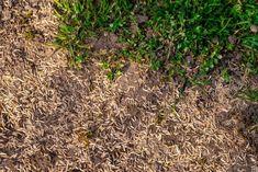 Planting Grass Seed, Planting Garlic, Planting Bulbs, Planting Flowers, Planting Seeds, Centipede Grass, Zoysia Grass, Grass Species, Easy To Grow Bulbs
