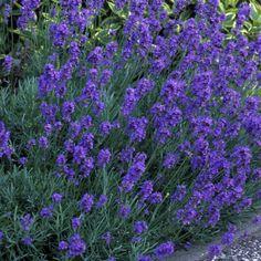 Tähkälaventeli - Viherpeukalot Purple Garden, Lavandula Angustifolia, Annual Plants, Blue Flowers, Perennials, Garden Ideas, Environment, Gardens, Cottage
