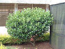 Clusia as a small tree or shrub shape