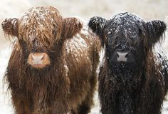 Might be snow | Highland cows portrait taken on the road to … | Flickr