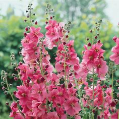Verbascum Rosetta - Perennials - Web Exclusive Perennials - Perennial Plants