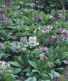 Japanese or candelabra primroses thrive in wet sites like the edge of a pond or stream. In May, they send up tiers of flowers in varying shades of pink. Bog Garden, Next Garden, Water Garden, Garden Plants, Fine Gardening, Gardening Tips, Primroses, Fence Landscaping, Woodland Garden