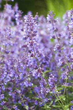 Related to catnip but much showier,the ornamental version sprouts lavender-colored flowers with silvery-green foliage.