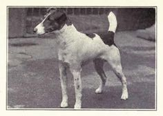 1915 Fox Terrier (Smooth)