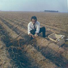 André Hennuyer, dans un champ de Ratte en 1968. C'est lui qui a régénéré la Ratte aux environs du Touquet.