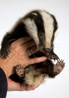 "Baby badger ^.^ ""Best Friend for Frances"" book!"