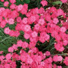 pink+dianthus+plant | Dianthus gratianopolitanus (Cheddar pink) - Fine Gardening Plant Guide