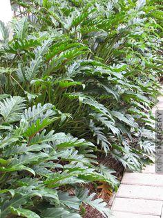 Landscape Philodendron Deja Vu #PHI-DVU