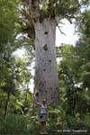 Señor de la Selva (60m x 5m) Tane Mahuta Waipoua Forest, Northland, Nueva-Zelanda.