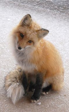 Ahh hello it's. Me Winter fox.