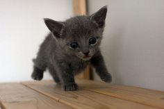 [Feline 101] Russian Blue Kitten