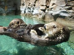Mother sea otter floats with pup on belly - June 30, 2012