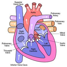 The Heart diagramprintable from Childrens Heart Institute