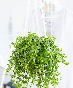 Hangplant Peperomia 'Isabelle' product foto