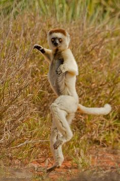 Perhaps the most characteristic behaviour of Verreauz's Sifaka – a species of Indriidea Lemur – is their hopping and sideways skipping when it comes to traversing an area of ground. As comical as this method of locomotion may appear, it is in fact an extremely effective way for this species of Sifaka to get themselves from one patch of trees to another where the separation between them is too far to jump.  Wonderfully graceful as their movements are, the speed of their daily crossings are…