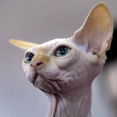 Narcotic, a Sphynx cat, looks at a judge during an international cat beauty show in Bucharest, Romania