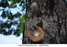 Cute Squirrel sits on the tree and eating coconut in the summer park  Image ID:507683281 Copyright: designtogether adorable, alert, animal, background, balance, beauty, branch, bushy, cepapi, closeup, coconut, conservation, creature, cute, fluffy, food, forest, funny, fur, furry, gray, green, grey, hair, kruger, light, look, mammal, national, nature, outdoor, paraxerus, park, red, rodent, small, squirrel, tail, tree, white, wild, wilderness, wildlife, wood