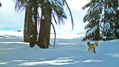Rare Fox Spotted In Yosemite For First Time In A Century. <><><> Yosemite National Park sheds light on why the Sierra Nevada red fox is so rare. Sierra Nevada, Fox Species, Endangered Species, Rare Species, California National Parks, Yosemite National Park, Yosemite California, California Usa, National Forest