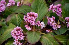 Vaskoslevelű Bőrlevél (Bergenia crassifolia)