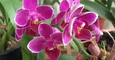 Orquídeas sem segredos; Cultivo de orquídeas; Dicas orquídeas; Orquídeas Orchids, Flowers, Plants, Mini, Makeup, Gardening Tips, Elderly Crafts, Orchid Seeds, How To Replant Orchids