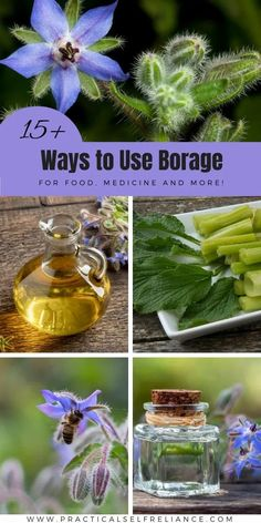 15 Ways to Use Borage for Food, Herbal Medicine, & Homemade Body Care - Borage is a beautiful annual flower that's popular with gardeners and is edible and medicinal. These edible flowers have a number of uses in the kitchen, homemade herbal tea recipes, homemade soap, and borage oil can be made and used for its skin benefits. Be Natural, Natural Healing, Natural Life, Healing Herbs, Medicinal Herbs, Homemade Body Care, Borage Oil, Edible Wild Plants, Backyard Plants