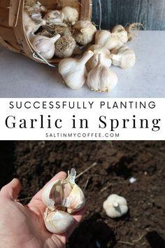 Planting Garlic In Spring, Spring Garlic, When To Harvest Garlic, When To Plant Garlic, Gardening Vegetables, Gardening Hacks, Vegetable Gardening, Organic Gardening, Preserve Fresh Herbs