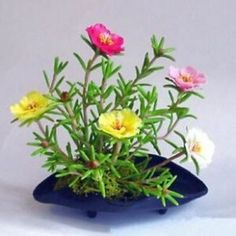 Cheap bonsai decoration, Buy Quality bonsai flower pots directly from China flower bonsai Suppliers: mixed colors Balcony potted flower seeds easy to plant autumn Sunflower seed package shipping Portulaca Flowers, Portulaca Grandiflora, Planting Flowers, Sun Plants, Bonsai Plants, Garden Plants, Flower Petals, Flower Vases, Cheap Plants
