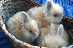 angora rabbit cute - Google Search
