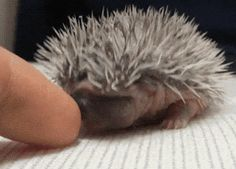 The Cutest Baby Hedgehog