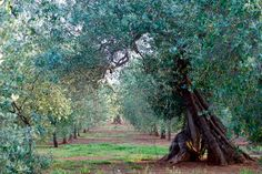 walking in the groves- a favourite past-time-Puglia Olive Groves