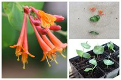 Grow your own honeysuckle vine from cuttings. Make sure it is non-invasive in your growing zone.