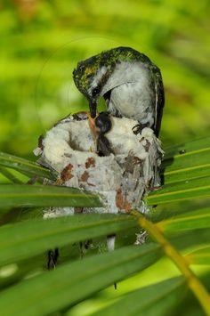 hummingbird babies | Coral Reef Photos » Blog Archive » Hummingbird Feeding Her Babies