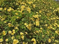 Plants for Dallas - Your Source for the Best Landscape Plant Information for the Dallas-Ft. Worth MetroplexBest Vines for Dallas, Texas — Wall Climbing Plants, Climbing Vines, Lady Banks Rose, Vine Fence, Fast Growing Vines, Ficus Pumila, Evergreen Vines, Virginia Creeper, Texas Gardening