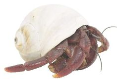 Keeping hermit crabs warm is an important part of their basic care. Because they are tropical creatures, they need temperatures above 75 degrees Fahrenheit, but they shouldn't be allowed to bake in the sun, either. If you're committed to keeping your cute crustacean healthy and happy, it's worth investing in a quality thermometer. Also, keep an eye on your tank's humidity levels; heating systems can reduce air moisture to unsafe levels and make it difficult for your crab to breathe.