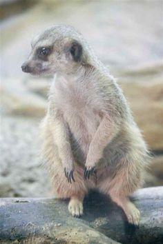 meerkat | Meerkat