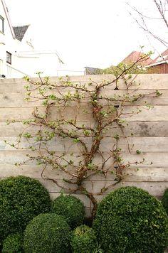 Robuuste schutting van steigerhout, waar tegen een klimhortensia groeit.