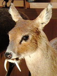 Water Deer is listed (or ranked) 2 on the list Rare Animals That Look Fake But A. - Water Deer is listed (or ranked) 2 on the list Rare Animals That Look Fake But Are In Fact Rea - Weird Looking Animals, Unusual Animals, Rare Animals, Animals Beautiful, Animals And Pets, Funny Animals, Strange Animals, Wild Animals, Adorable Animals