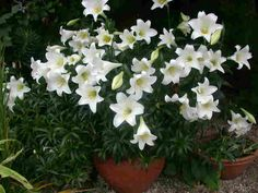 'White American' dwarf Easter Lily. Highly fragrant flowers in Easter (or around Christmas in the Southern Hemisphere).